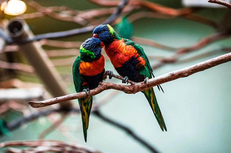 Love Birds Bird