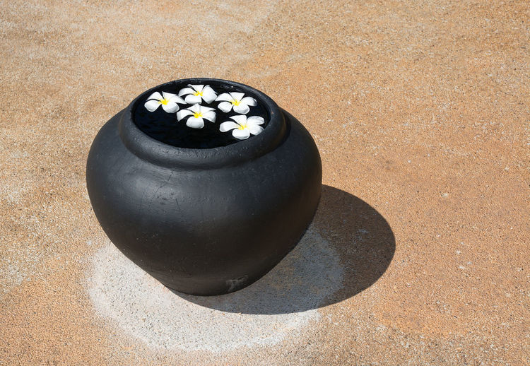 Close-up of frangipani in pot on footpath