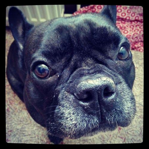 Haydut Pazargunu Frenchbulldog Dog