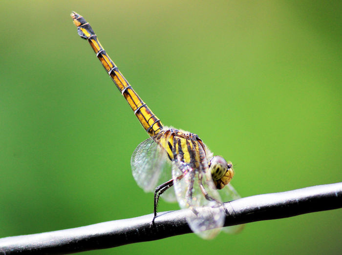 Close-up of dragonfly on cable