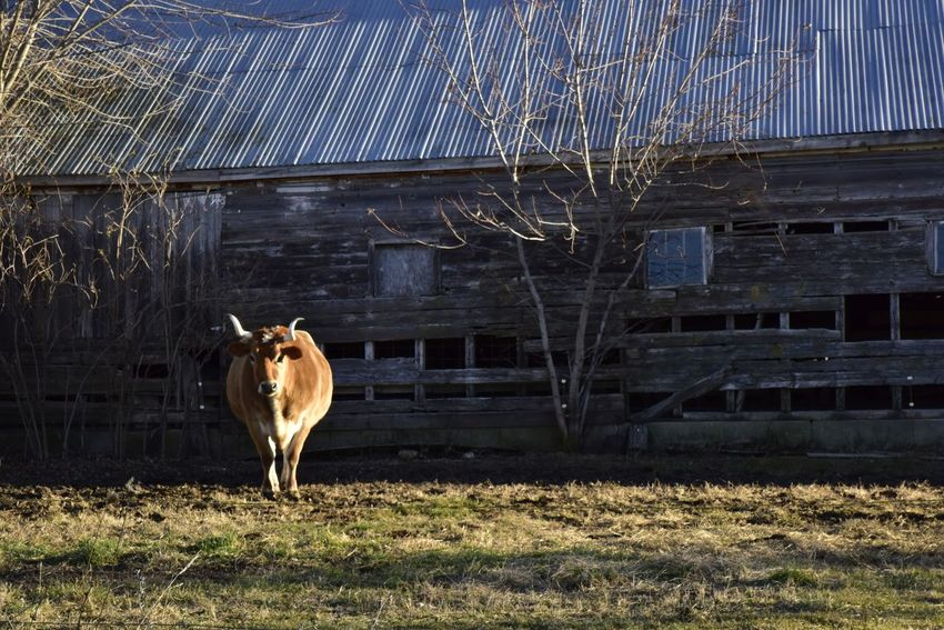 Bull cow looking at the camera Livestock One Animal Animal Themes Domestic Animals Grass Mammal Agriculture Nature Outdoors No People Room For Copy Feeding Animals Room For Text Country Copy Space Grazing Galena, Illinois Bradleywarren Photography Bradley Olson Background Rural Scene Cow Steer Bull Farm Visual Creativity