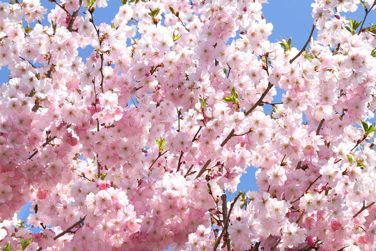 Cherry Blossoms Flowering Plant Flower Fragility Pink Color Tree Blossom Cherry Tree Bunch Of Flowers Springtime Cherry Blossom Day