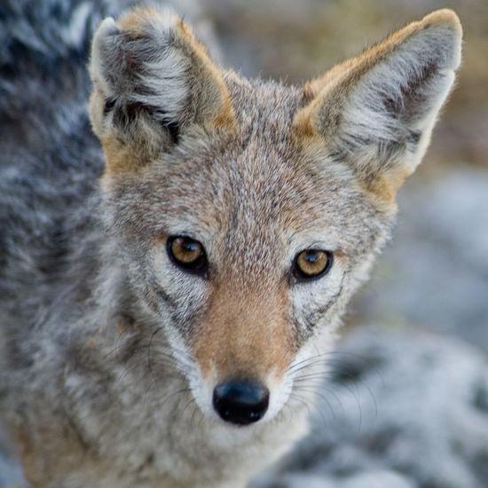 Close-up portrait of black-backed jackal