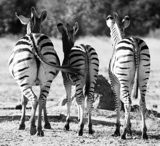 Zebras Animal Group Of Animals Animal Themes Mammal Animal Wildlife Vertebrate Animals In The Wild Zebra Striped