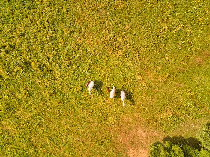 Horses on the field view from above Field Plant Vertebrate Animal Land Animal Themes Green Color Nature Day Grass High Angle View Beauty In Nature No People Outdoors EyeEm Selects EyeEm Gallery EyeEm Nature Lover EyeEm Best Shots View From Above Drone Photography Drone Shot Parrot Anafi Image negative space Copy Space Horses Horses Grazing Horses Group