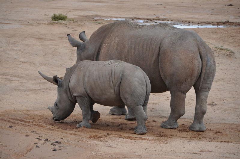 Rear View Of Rhinoceros On Field