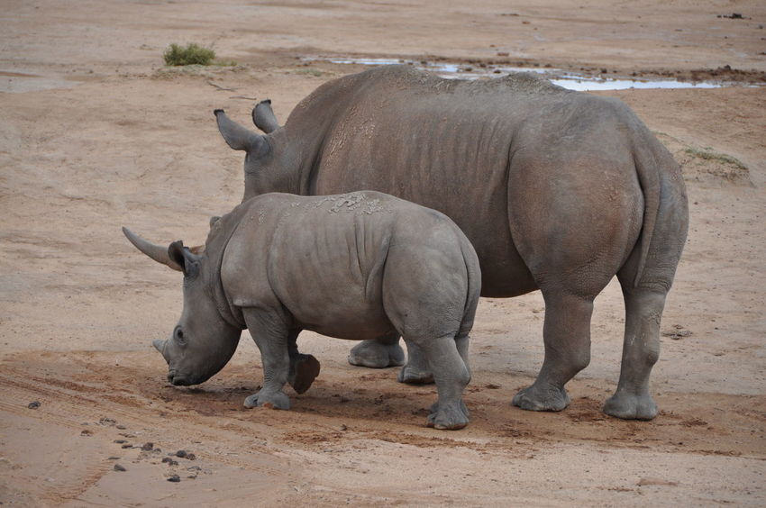 Animal Themes Animal Wildlife Animals In The Wild Aquila Game Reserve Beauty In Nature Day Full Length Nature No People Outdoors Rhino Rhinoceros Safari Animals
