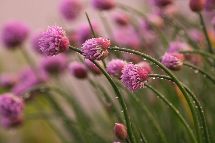 Chive Chives Blossom Rain Drops Growth Beauty In Nature Flower Plant Flowering Plant Fragility Vulnerability  Freshness Close-up Pink Color Selective Focus Nature Petal No People Focus On Foreground Day Purple Plant Stem Outdoors Flower Head Springtime Dew Purity Wet Droplets