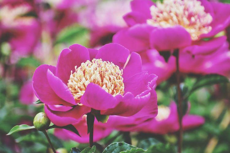 peony flower in