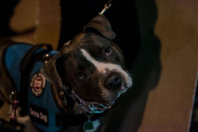 Service Animals Service Dog Pup Pitbull Cute Pets Puppy Head Tilt Street Photography Streets Outdoors Urban Photography