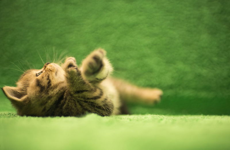 View of a cat on green grass