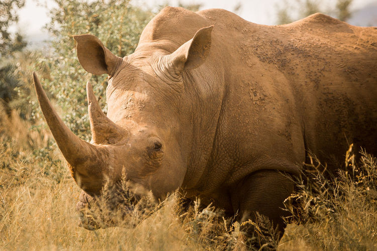Close-up of rhinoceros