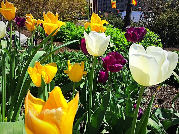 Flower Petal Freshness Fragility Beauty In Nature Flower Head Plant Nature Outdoors Blooming Springtime Day Tulip Yellow Growth Variation No People Leaf Crocus Close-up
