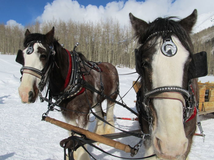 Horsedrawn sledge on snow covered field