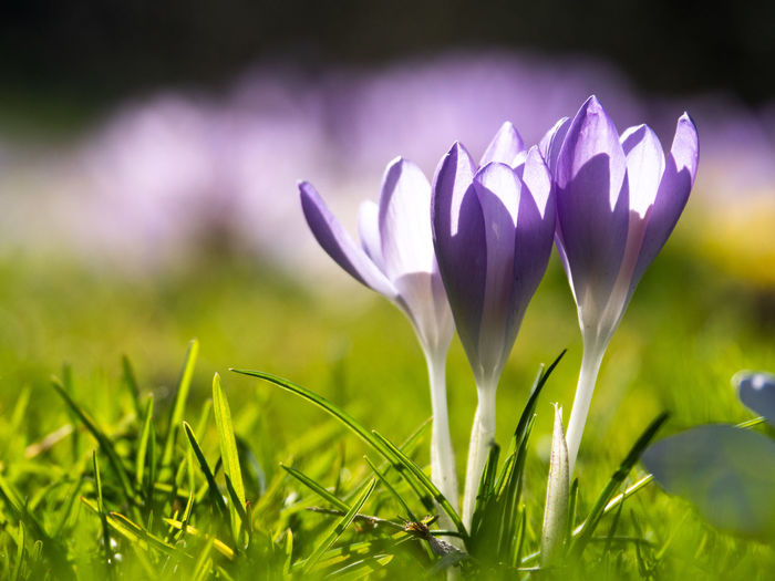 Flower Flowering Plant Plant Freshness Beauty In Nature Growth Close-up Purple Vulnerability  Nature Fragility Petal Inflorescence Field Green Color Crocus Flower Head No People Land Iris Outdoors Springtime
