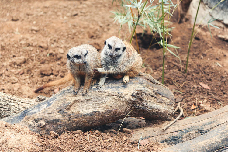 Animal Themes Animals Beauty In Nature Focus On Foreground Mammal Meerkat Nature Outdoors Wildlife Showcase June