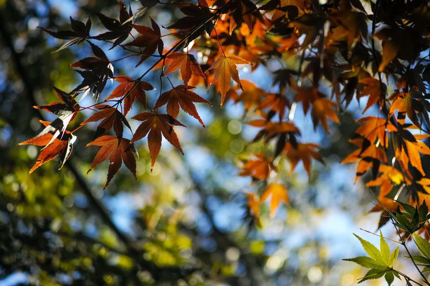 少し色着いてきた🍁 Autumn colors Autumn Leaves Autumn🍁🍁🍁 Leaves_collection Leaves 🍁 Nature EyeEm Nature Lover Nature_collection Nature Photography Taking Photos EyeEm Best Shots EyeEm Gallery From My Point Of View The Week on EyeEm Leaf Plant Part Tree Plant Change Autumn Branch Nature Beauty In Nature Maple Tree Orange Color Outdoors Leaves Maple Leaf