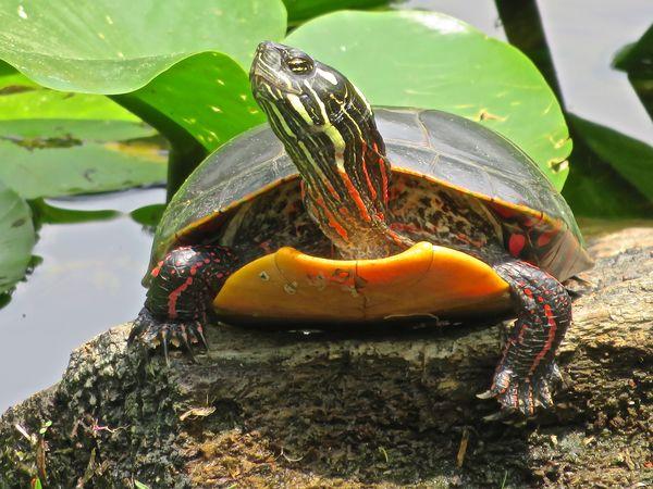 ainted turtle Turtle Pond Life Painted Turtle Sunning