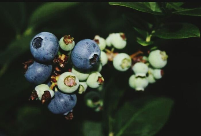 Blueberries Blueberries Blueberry Plant Blue Some Ripe Some Ready To Pick Yummy Growing Our Own Central Florida Nature Photography