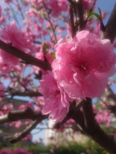 嵐に耐えた桜達🌸 Flower Pink Color Blossom Springtime Fragility Nature Tree Beauty In Nature Growth No People Freshness Outdoors Day Flower Head Close-up Plant Branch