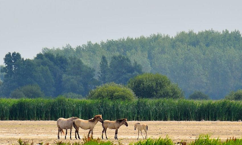 Horses Konik Landscape Lauwersmeer National Park Nature Non-urban Scene Outdoors