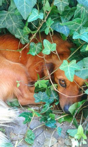 Hi! Colour Of Life Mobile Photography Garden Koprivnica Dogs Dog Doglover Dogoftheday Dogmodel Animals Hiding Ivy Leaves