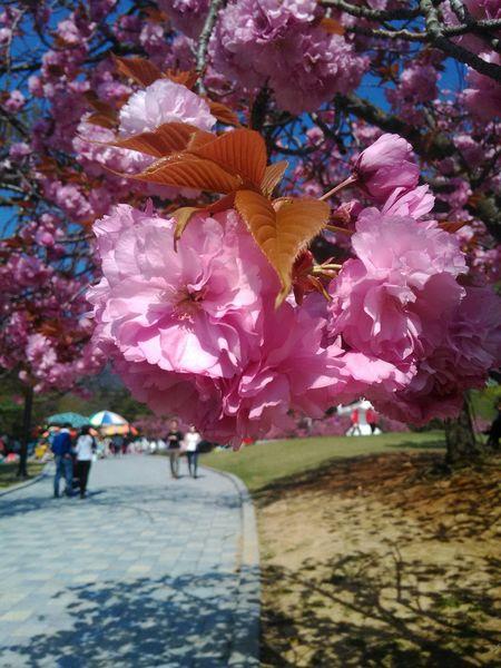 Bulguksa Blossom