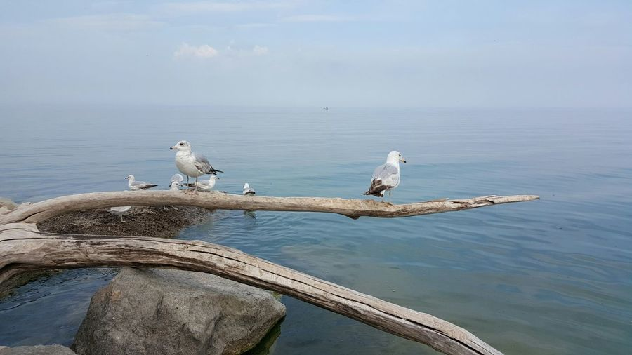 Seagulls perching on log against sea water in jack darling memorial park