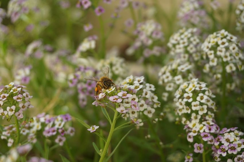 Alyssum Flowers Autumn Close Up Wildflower Pink Flower White Flowers Purple Flowers Flower Flower Head Bee Nature Reserve Insect Closing Eating Plant Life Leaves
