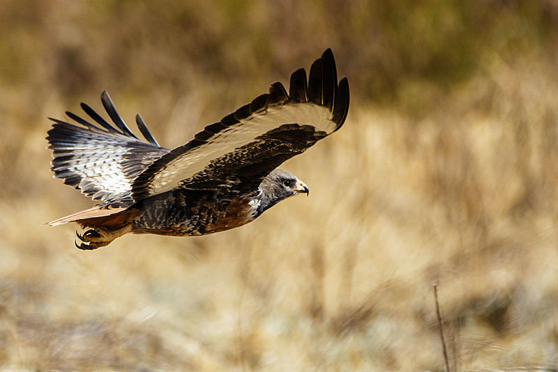 Animal Themes Animal Wildlife Animals In The Wild Bird Bird Of Prey Buzzard In Flight Close-up Day EyEmNewHere EyeEm Best Shots EyeEm Gallery EyeEm Best Edits Beauty In Nature Flying Full Flight Graceful Flight Love Photography Magnificent Wings Nature Nature Nature Lovers Photography Nature Photography Nature_perfection No People One Animal Outdoors Panning Shoy Spread Wings Talons Swept Back