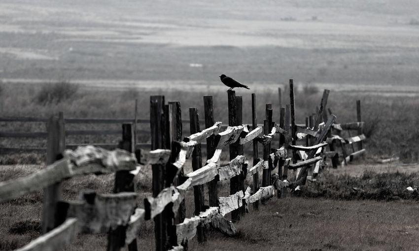 dark fence bird