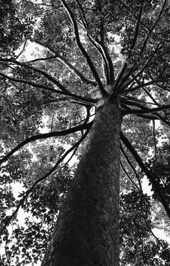 Dipterocarpus alatus Tree Plant Tree Trunk Trunk Growth Nature No People Tall - High Branch Forest Day Beauty In Nature Sunlight Low Angle View Monochrome Outdoors