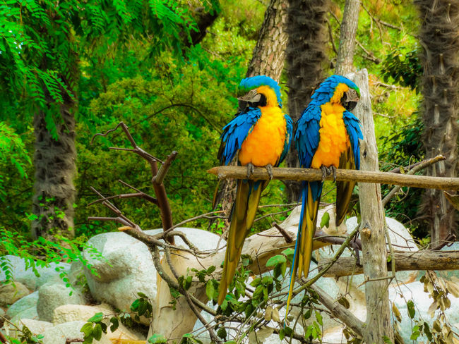 Parrots Parrot Parrots Couple Of Birds Beauty In Nature Colors Explosion Of Color Parakeets Scarlet Macaw Pine Tree Tropical Bird