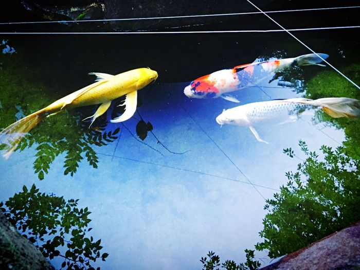 Ztylus Iphone6 Japan Sky_collection Carps Silvercarp Goldencarp Pond Have you ever seen flying acarps?