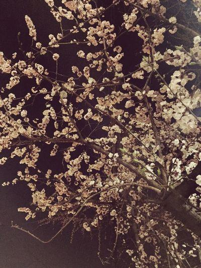 벚꽃나무 벚꽃 벚꽃나무 First Eyeem Photo