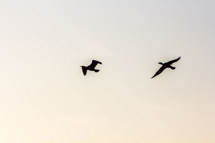 Animal Themes Animal Wildlife Animals In The Wild Bird Bird Of Prey Clear Sky Day Flying Low Angle View Nature No People Outdoors Silhouette Sky Spread Wings Sunset