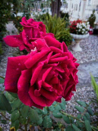 Flower Petal Beauty In Nature Plant Pink Color Nature Blossom Rose - Flower Freshness Grandmas Garden