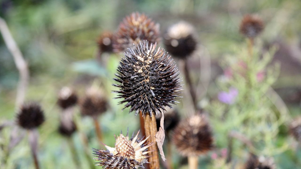 plant, flower, nature, thistle, spiked, growth, day, no people, fragility, flower head, outdoors, close-up, freshness