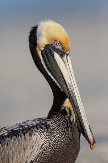 Brown pelican portrait (Pelecanus occidentalis), Estero Lagoon, Florida Animals Bird Bird Photography Bird Watching Birds Birdwatching Brown Pelican Brown Pelicans Close-up Colored Estero Bay Florida Fort Myers Fort Myers Beach Nature Ornithology  Pelecanus Occidentalis Pellican Portrait Sanibel Island United States USA Wild Wildlife Wildlife Photography