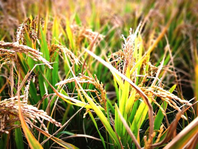 Plant Nature Growth Grass Close-up Outdoors No People Cereal Plant Agriculture Day Rural Scene Closing Beauty In Nature Flower Freshness