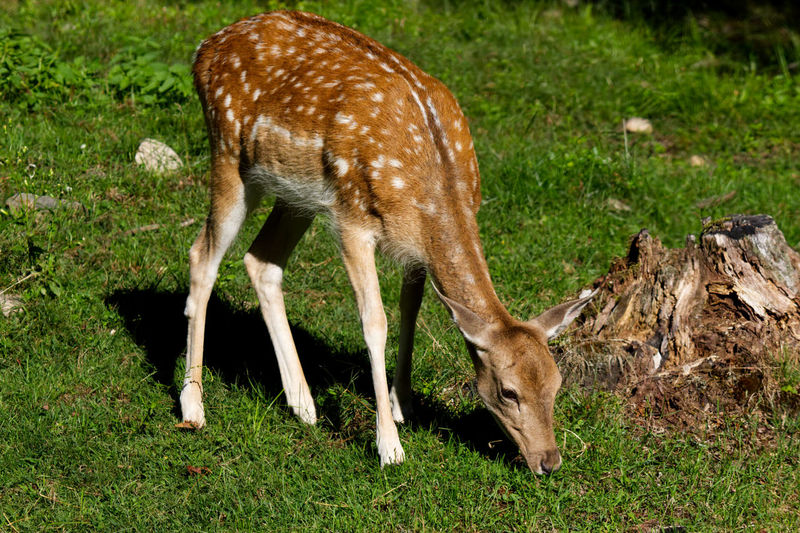 Little baby deer eating grass in a field Animal Animal Family Animal Themes Animal Wildlife Animals In The Wild Day Deer Domestic Animals Fawn Field Grass Grazing Herbivorous Land Livestock Mammal Nature No People One Animal Outdoors Plant Vertebrate