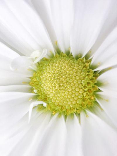 White Daisy Nature Photography Beauty Macro_collection Flower Collection Daisy White Nature IPS2016Closeup IPS2016White