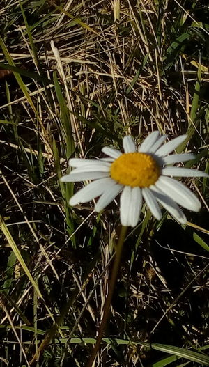 Autumn Flowers,Plants & Garden Beauty In Nature Beauty In Nature Blooming Close-up Countryside Day Field Flower Flower Head Flowers Fragility Freshness Grass Growth Hill Nature No People Outdoors Petal Plant Yellow