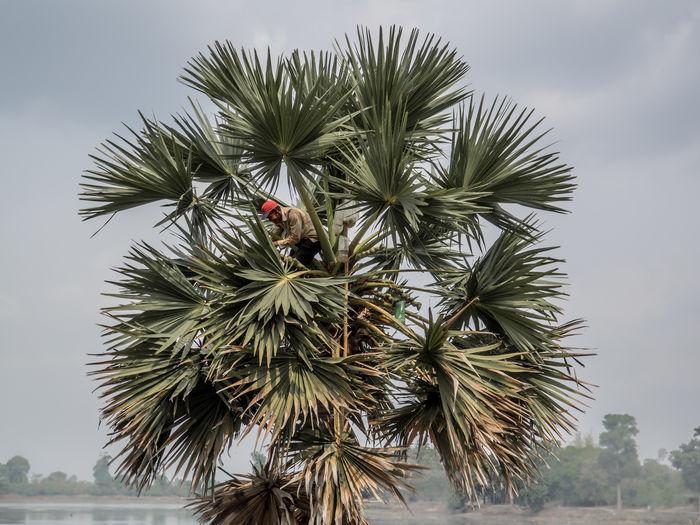 Cambodia Day Man In A Tree Nature Needle - Plant Part Outdoors Palm Tree Palm Tree Sky Tree