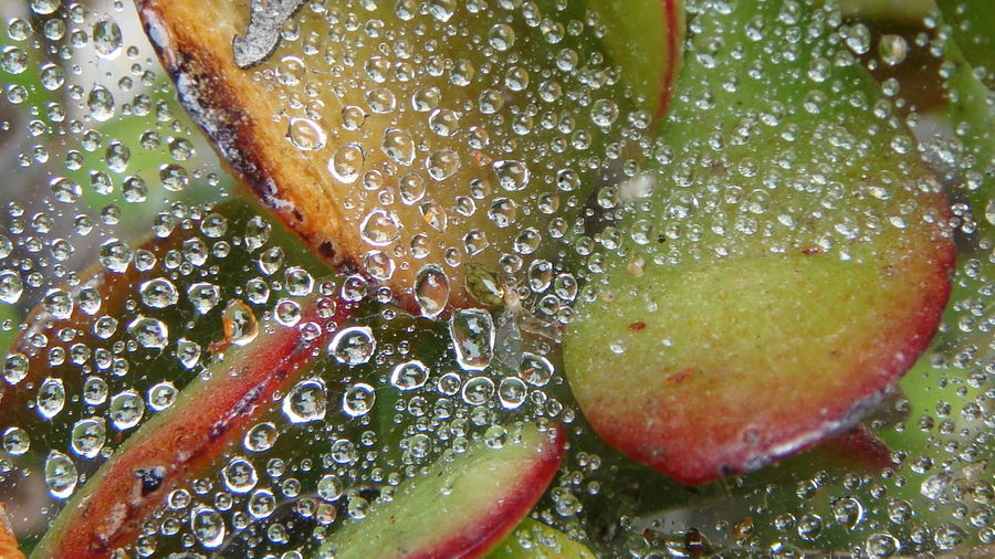 Beauty In Nature Close-up Day Dew Dew Drops Dewdrops Dewdrops In The Garden Drop Freshness Fruit Green Color Healthy Eating High Angle View Jade Leaf Nature Part Of Raindrops Refreshment Sunlight Transparent Water Web Wet Yellow