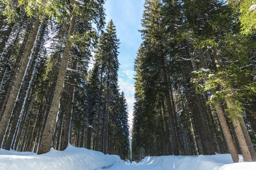 Welcome to winter forest. Leisure Activity Snow Tree Winter Cold Temperature Pine Tree Pinaceae Forest Nature No People WoodLand Mountain Landscape Outdoors Frozen Beauty In Nature Tree Trunk Travel Destinations Day Sky Scenics Shades Of Winter