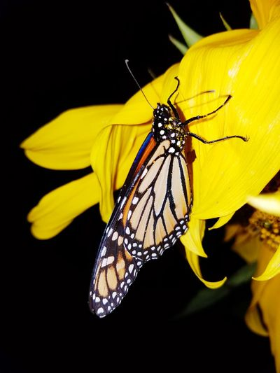 Insect Yellow Close-up Black Background Insects Beautiful Nature Butterfly ❤ Monarch Butterfly Nature Beauty In Nature No People