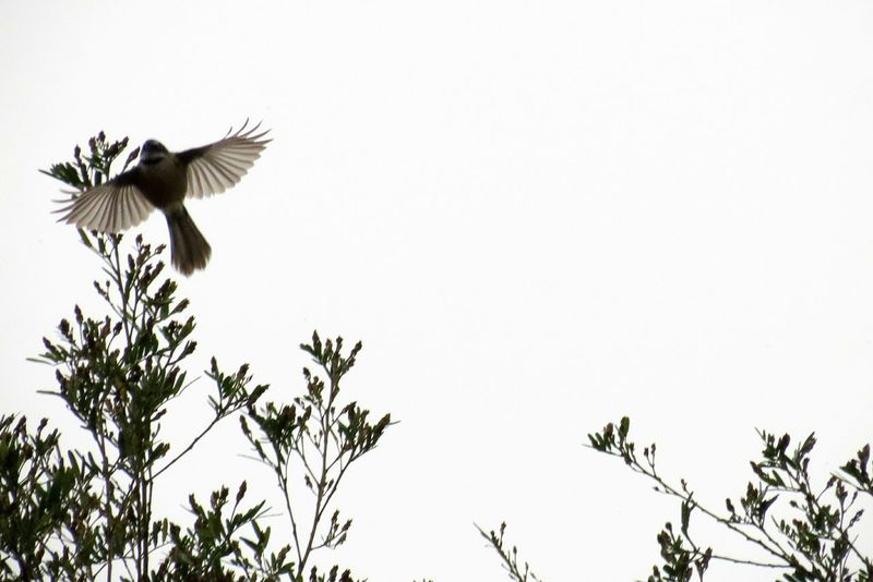 Birds Soar Feathers Wings Wing Wings Spread Spread Wings Flight Flying Freedom Treetop Piwakawaka Fantail Nz Native Bird Aotearoa LandoftheLongWhiteCloud Overcast Beauty In Nature Wingspan Animals In The Wild Daylight Environment Low Angle View Tree Angel Wings