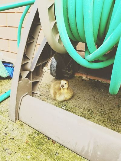 Baby Duck Baby Duckling Baby Goose Mammal Animal Themes Day Wild Baby Duck Outdoors Duck No People One Animal High Angle View
