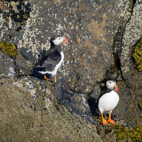 High angle view of puffins perching on rock